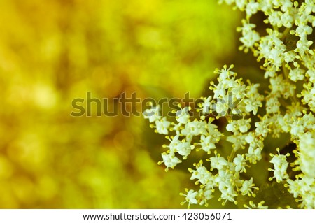 Flowers elderberry, Sambucus nigra, elderberry, flower, with copyspace - stock photo