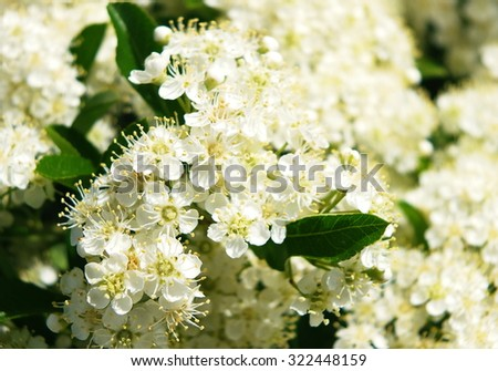 flowers elderberry (Sambucus nigra); velvia filter effect, shallow depth of field - stock photo