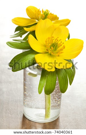 flowers Eranthis hyemalis one of first spring west middle east Europe flower - stock photo