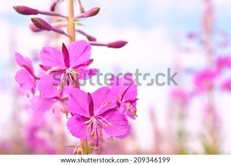 Flowers Fire-weed / Image pink flowers willow-herb - stock photo