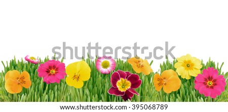 Flowers. Flower in grass, background. Flowers garden. Flowers isolated on white background. Flower border. Red flowers, yellow flowers and orange flowers.  - stock photo