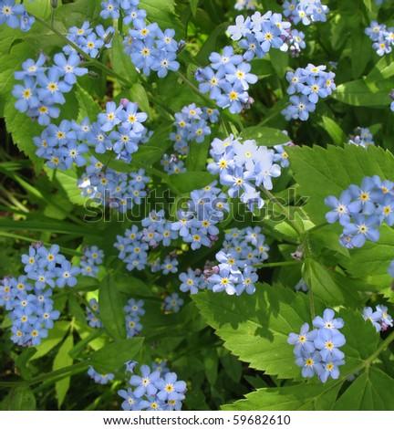 Flowers forget-me (Myosotis) - stock photo