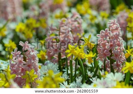 flowers/garden / tulip /Spring flowers/Spring Background - stock photo