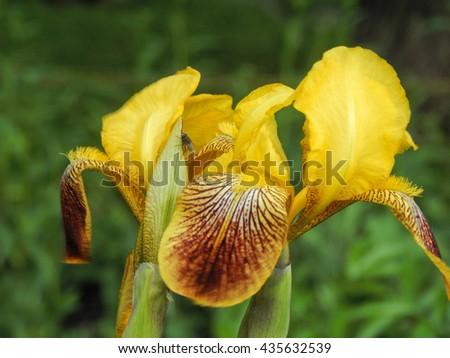 Flowers garden varieties of yellow iris closeup - stock photo