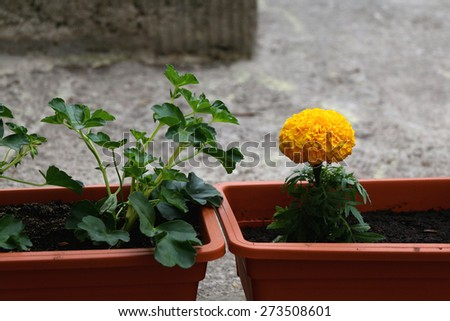 Flowers growing in a pot outside. Selective focus.  - stock photo