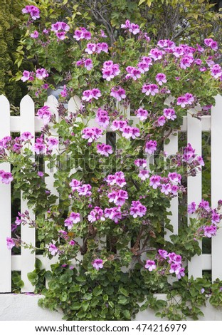 Flowers growing on a fence in Hobart town residential district (Tasmania, Australia).