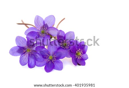 Flowers hepatica (liverleaf or liverwort) on a white background with space for text - stock photo
