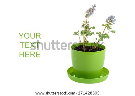 flowers in a pot isolated - stock photo