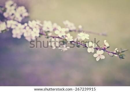 flowers in apple tree - stock photo