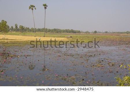 Flowers in Cambodia lake