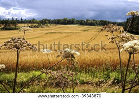 Flowers in front of crop field, Scotland - stock photo