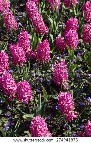 flowers in holland garden Keukenhof, Netherlands - stock photo