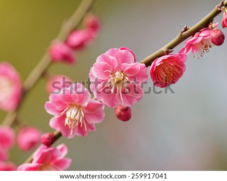 Flowers in spring series: plum blossoming in spring, it is the only remaining last winter flower, is the earliest blooming flower in spring. It shows struggle and pride. - stock photo