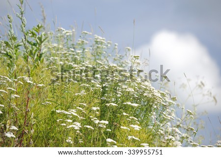 Flowers in the meadow