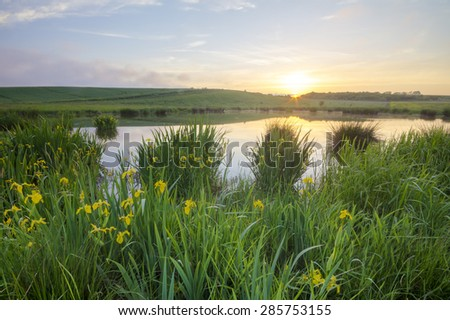 Flowers irises blooming in the lake water