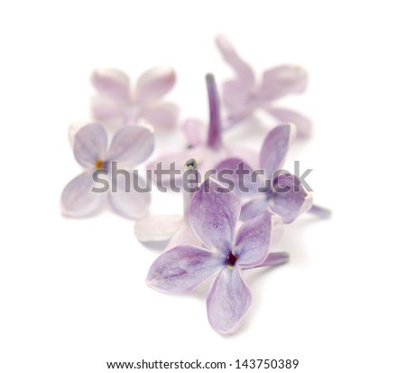 Flowers lilac. Isolated on white background