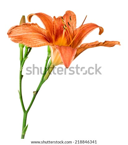 flowers  lily isolated on white background - stock photo