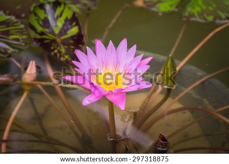 flowers lotus, water lily for background. - stock photo