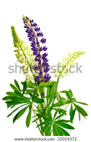 flowers lupine isolated on wihite background - stock photo