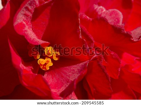 Flowers of a begonia is photographed a close up.
