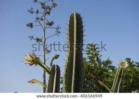 flowers of a cactus live one days - stock photo