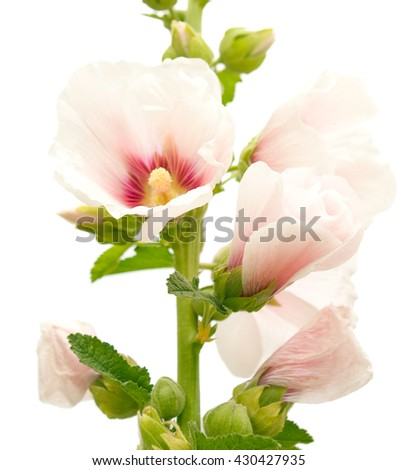 Flowers of a mallow, rose stem isolated on a white - stock photo