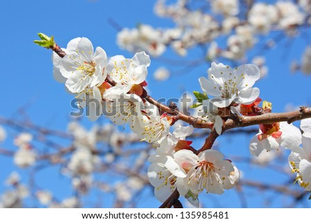 Flowers of a tree of an apricot against the blue sky
