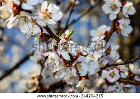 Flowers of a tree of an apricot against the blue sky - stock photo