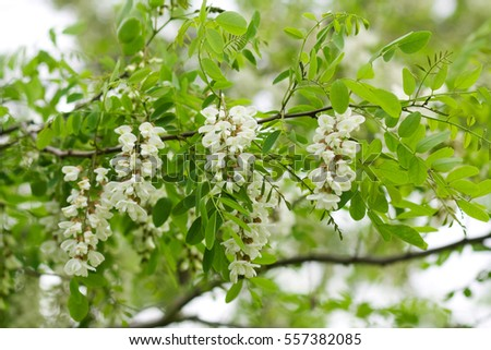 Flowers of a white acacia against green foliage.