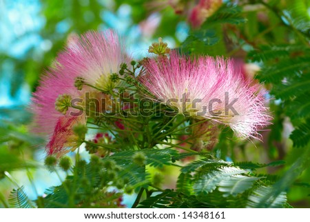 Flowers of acacia (Albizzia julibrissin). - stock photo