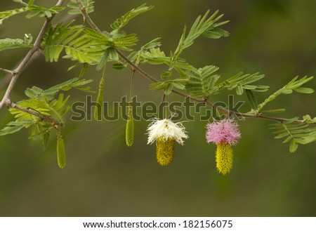 flowers of acacia tree in namibia - stock photo