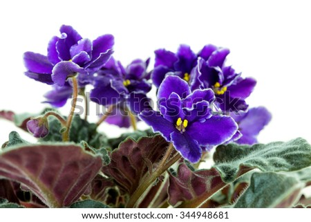 Flowers of African Violet (Saintpaulia) close-up - stock photo
