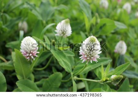 Flowers of alsike clover - stock photo