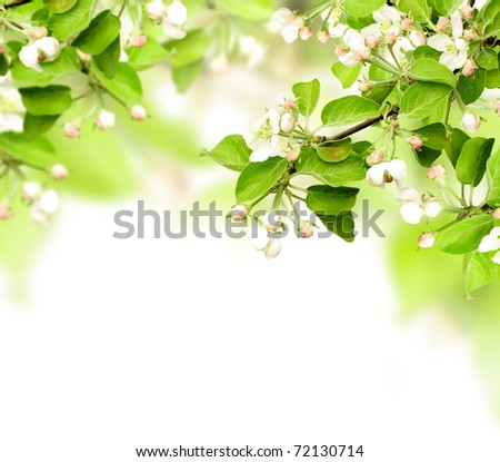 Flowers of apple - isolated over white - stock photo