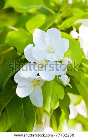 Flowers of apple tree - stock photo