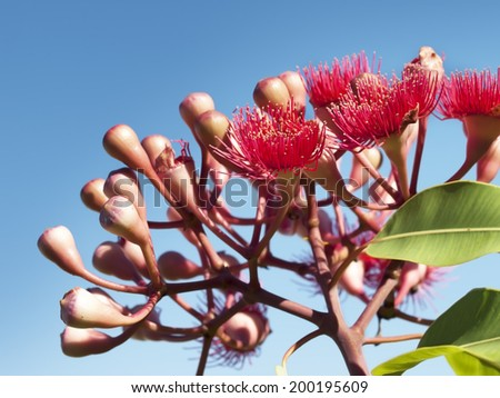 Flowers of Australian red blood wood eucalypt Summer Red against blue sky - stock photo