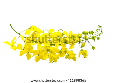 Flowers of Cassia fistula or Golden shower, national tree of Thailand isolated on white background.Saved with clipping path. - stock photo