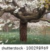 Flowers of cherry blossom tree with the daffodils out of focus behind - stock photo