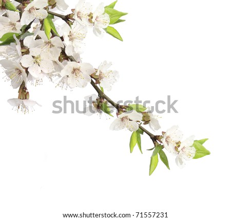 Flowers of cherry - isolated over white