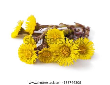 Flowers of coltsfoot (Tussilago farfara)  - stock photo