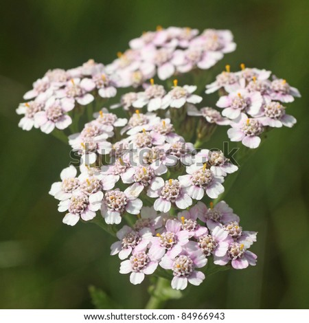 Flowers of Common Yarrow (Achillea millefolium) - stock photo