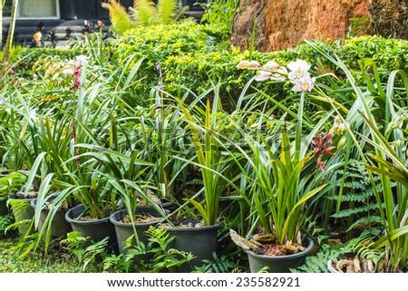 Flowers of cymbidium orchid in garden. - stock photo