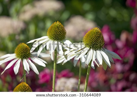 Flowers of echinacea fragrant angel  in summer garden - stock photo