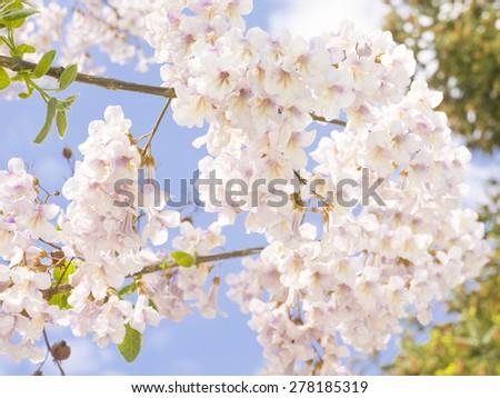 Flowers of empress tree or princess tree, or foxglove tree, latin name Paulownia tomentosa, recorded in Saint Konstantin and Helen resort, Bulgaria. - stock photo