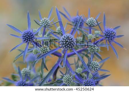 Flowers of Eryngium at Biokovo national park, Croatia - stock photo