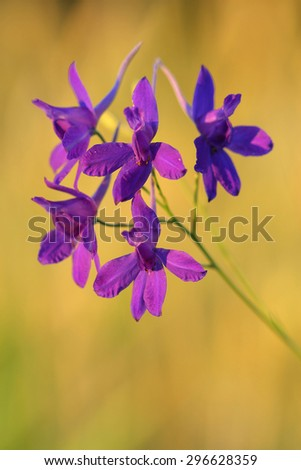 Flowers of  Forking Larkspur (Consolida regalis). Closeup - stock photo