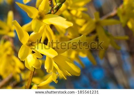 Flowers of forsythia. Shallow dof. - stock photo