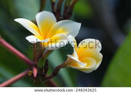 Flowers of frangipani also know as plumeria - stock photo