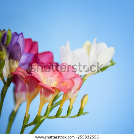 Flowers of freesia on a blue background - stock photo
