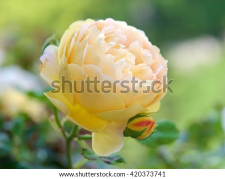 Flowers of Golden Celebration, an English Rose from the David Austin collection, blooming in a garden in Tokyo - stock photo